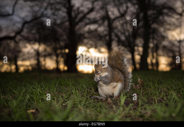 Grey squirrel, Hyde Park, London - Stock Image
