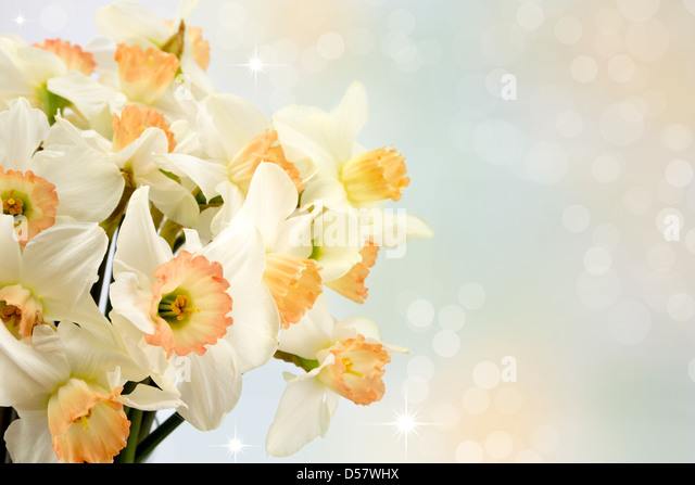 Beautiful spring daffodils. - Stock Image