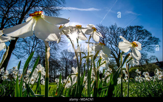 Worsley, Manchester. 19th Apr, 2018. UK Weather: Glorious sunshine in Worsley, Manchester on what is expected to be the hottest day of the year so far. Temperatures are expected to reach the mid 20's centigrade this afternoon and the hot spell is going to last until the weekend. A crop of spectacular white daffodils amongst the trees on Worsley Green. Picture by Paul Heyes, Thursday April 19, 2018. Credit: Paul Heyes/Alamy Live News - Stock Image