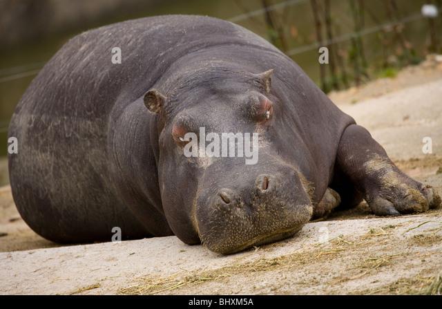 Hippopotamus resting at the zoo of Madrid, Spain - Stock-Bilder