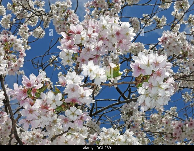 Signs of spring New creme white apple / cherry Blossom flowers against a deep blue sky England - Stock Image