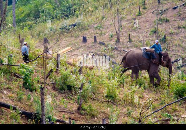 Working Elephant Hauling Logs Hongsa Laos - Stock Image
