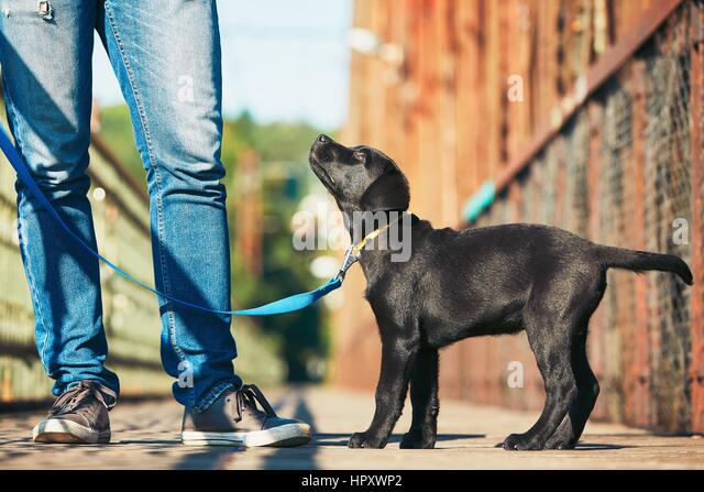 Morning walk with dog (black labrador retriever). Young man is training his puppy walking on the leash. - Stock Image