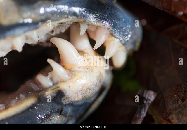 Gold Teeth Stock Photos Amp Gold Teeth Stock Images Alamy