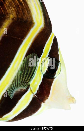Sailfin tang fish (Zebrasoma veliferum) studio shot on white background - Stock Image