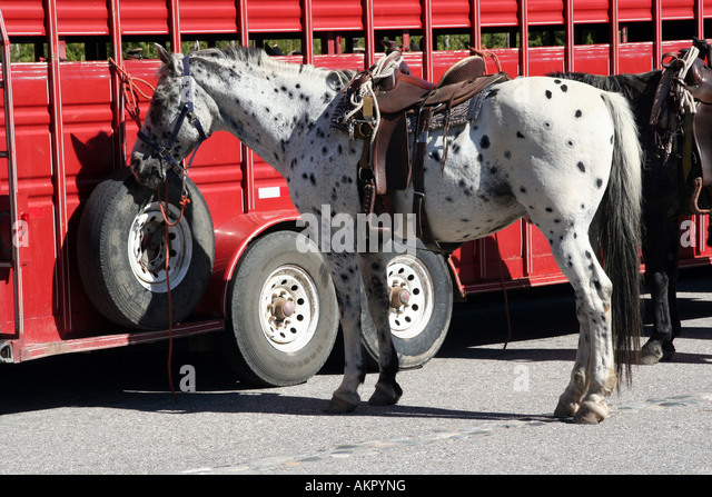 Horses hitched by trailhead in Yellowstone National Park, Wyoming - Stock Image