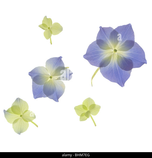 Scan of blue and green Hydrangea flower petals. Cut-out isolated on white background. cut out cutout - Stock Image
