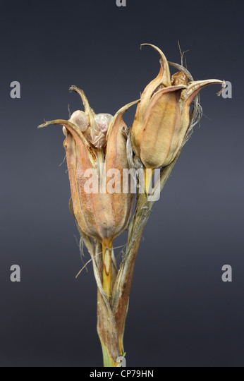 Iris Spuria, Iris, Blue iris, Brown, Grey. - Stock Image