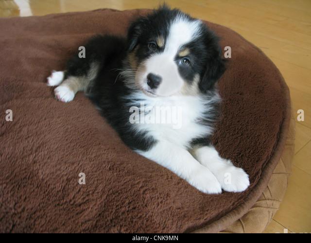 Australian shepherd puppy laying on dog bed. - Stock Image