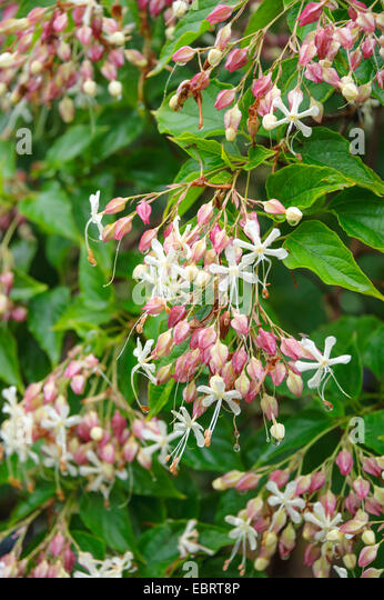Glory tree, Harlequin glory, Japanese Glory Tree (Clerodendrum trichotomum), blooming - Stock Image