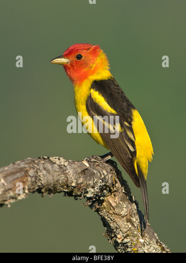 Western tanager (Piranga ludoviciana) on Garry oak perch at Observatory Hill, Saanich, British Columbia, Canada - Stock Image
