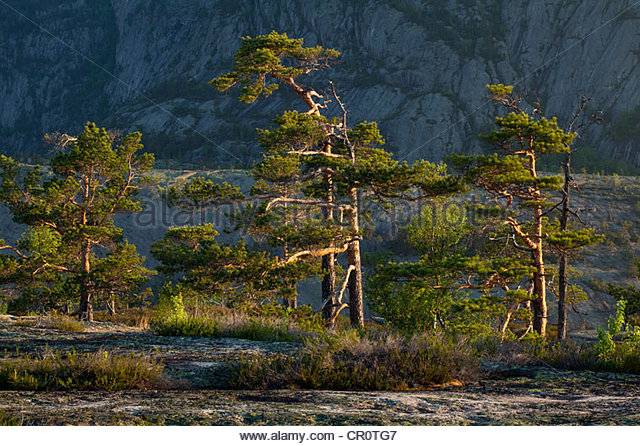 Pine trees at dawn, at Måfjell in Nissedal, Telemark fylke, Norway. - Stock-Bilder