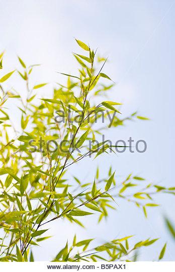 Golden Bamboo (Phyllostachys aurea) - Stock-Bilder
