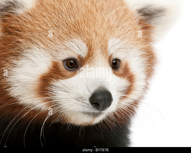 Close-up of Young Red panda or Shining cat, Ailurus fulgens, 7 months old, in front of white background - Stock Image