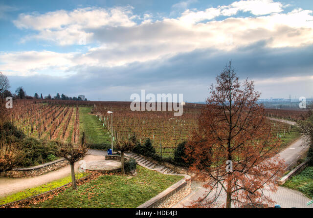 Autumn landscape with the vineyards of Hochheim in Germany - Stock Image