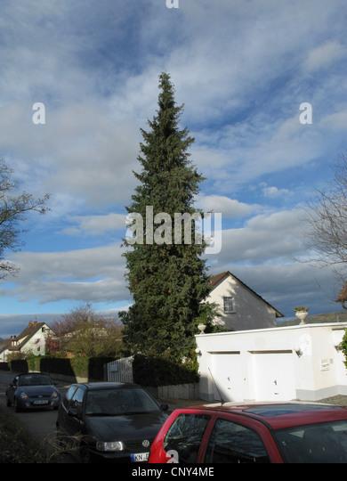 Lawson cypress, Port Orford cedar (Chamaecyparis lawsoniana), ornamental tree in a garden, Germany - Stock Image