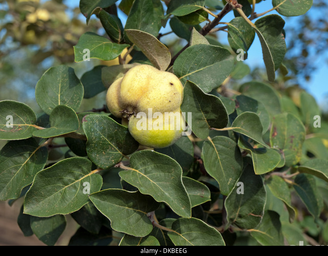 quince with leaves stock photos quince with leaves stock. Black Bedroom Furniture Sets. Home Design Ideas