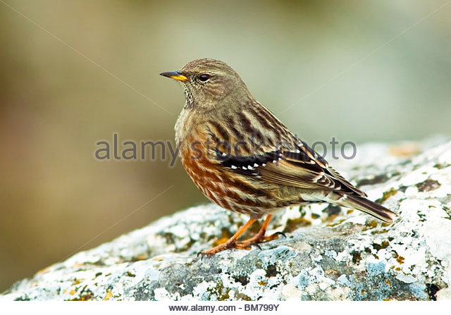 ALPINE ACCENTOR (Prunella collaris), Spain - Stock Image