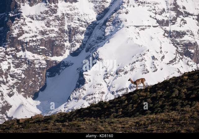 A Guanaco in Torres del paine NP, Chile - Stock Image