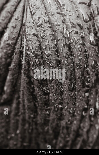 Close up of wet leaf with droplets of water in black and white. Nature detail. - Stock-Bilder