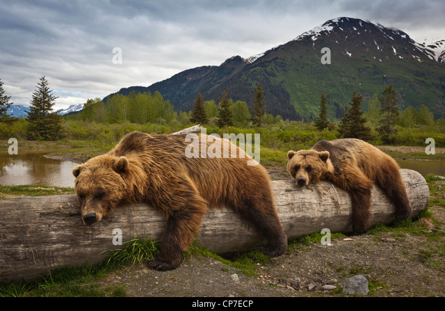 CAPTIVE: Two mature Brown bears lay stretched out on a log at Alaska Wildlife Conservation Center, Southcentral - Stock Image