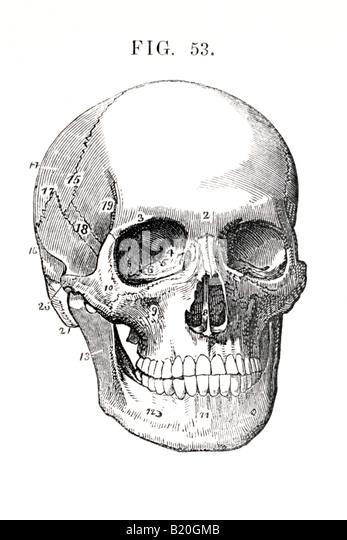 ILLUSTRATION HUMAN SKULL BONES OF HEAD - Stock Image