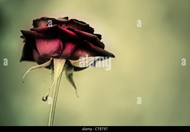 Rosa, Rose - Stock Image