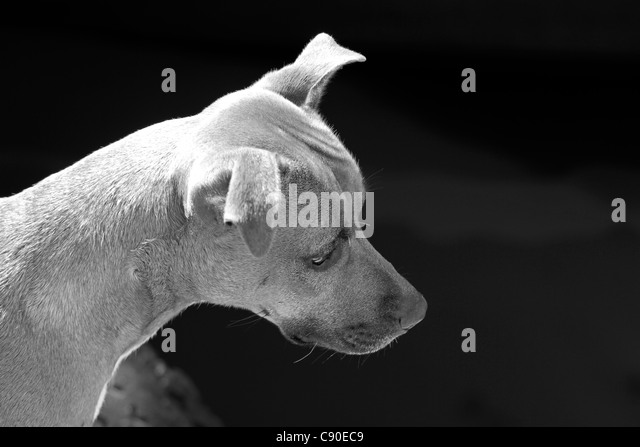 Black and white shot of small dog sitting on the pier at Houtbay Harbour staring at the seals below. - Stock Image