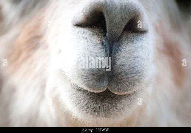 Close-up of alpaca (Vicugna pacos) - Stock-Bilder