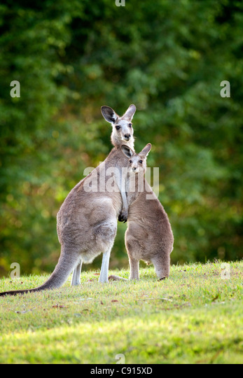 Eastern Grey Kangaroo and Joey Australia - Stock Image