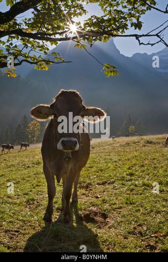 Austria, Tirol, Karwendel, Cows on meadow - Stock Image