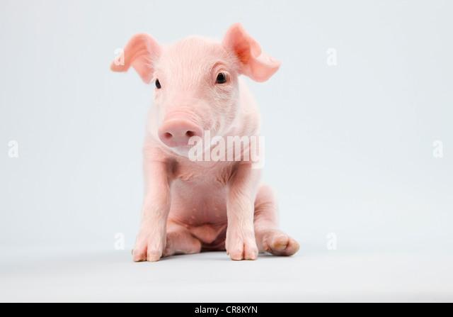 Cute piglet, studio shot - Stock-Bilder