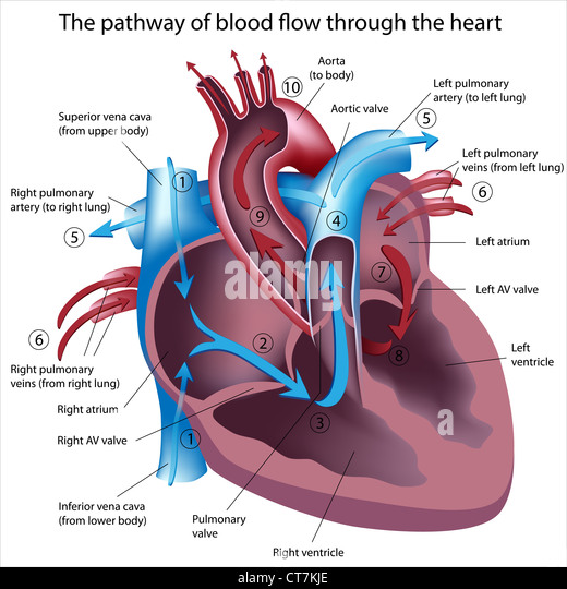 Pathway of blood flow through the heart - Stock Image