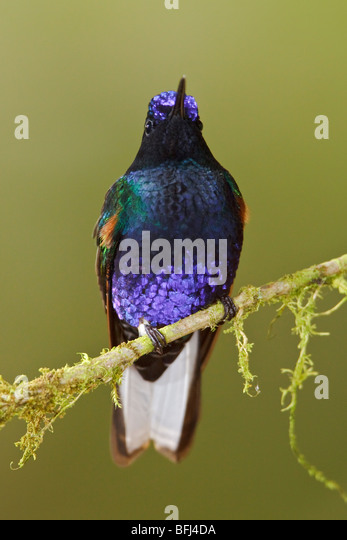 Velvet-purple Coronet (Boissonneaua jardini) perched on a branch at the Mindo Loma  reserve in northwest Ecuador. - Stock Image