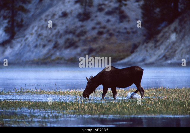 A moose Alces alces feeds in Yellowstone River Yellowstone Natonal Park Wyoming COPYRIGHT DUANE BURLESON - Stock Image