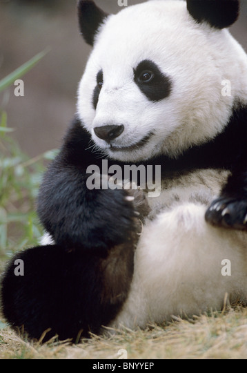 Giant panda Wolong, Sichuan Province, China - Stock Image