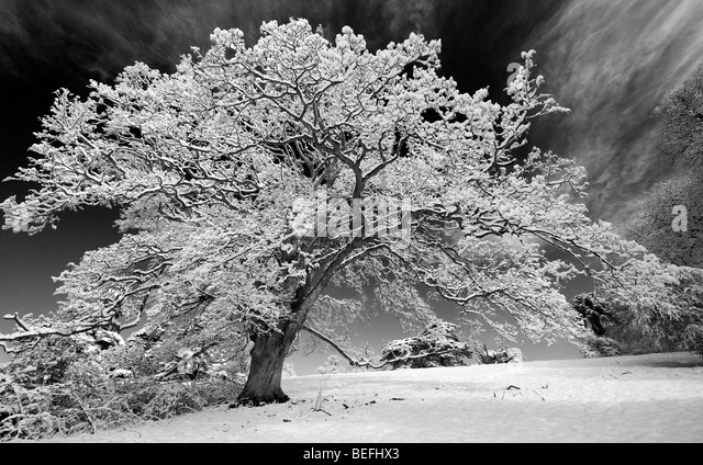 Snow covered oak tree in the english countryside. Black and white with a high contrast red filter applied - Stock Image