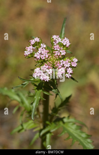 Annual valerian flower (Centranthus calcitrapae) - Stock Image