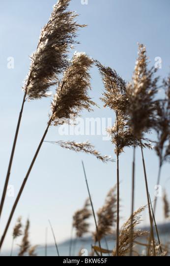 Rees straw closeup - Stock Image