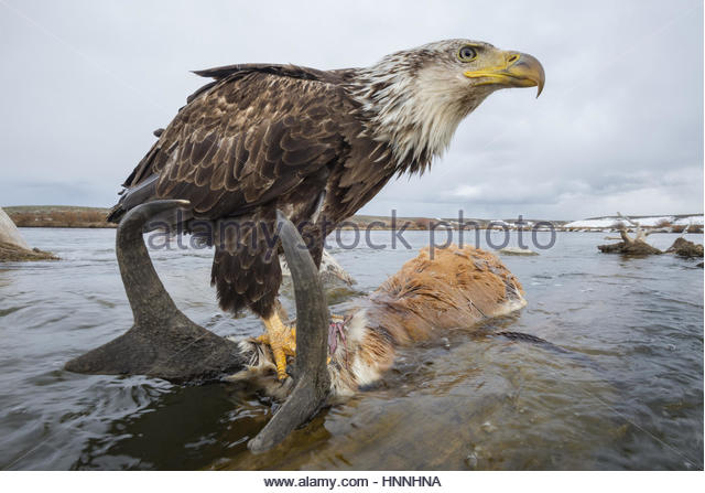 A remote camera captures an eagle perching on top of a drowned pronghorn. - Stock-Bilder