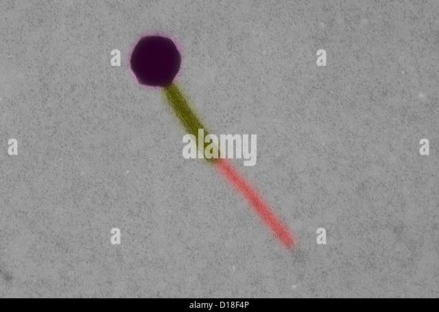 Electron micrograph Escherichia coli bacteriophage - Stock Image