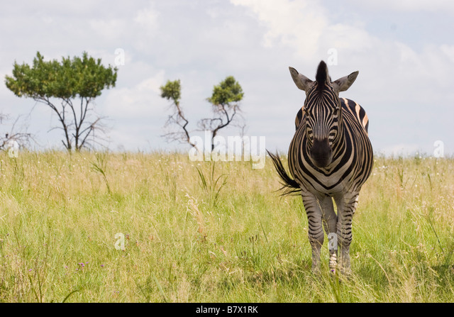 Zebra Game Park South Africa - Stock Image