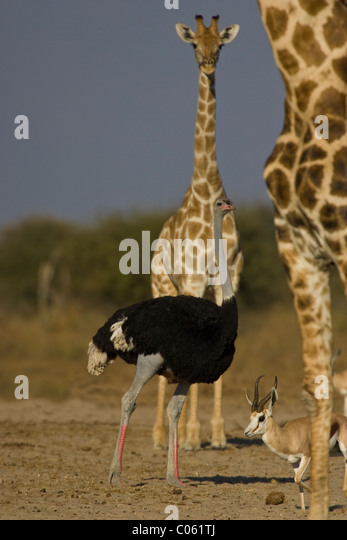 Ostrich, Giraffe and Springbok, Etosha National Park, Namibia. - Stock Image