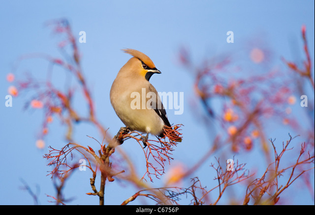 WAXWING Bombycilla garrulus  An adult perched in a rowan tree that has been stripped of its berries Nottinghamshire, - Stock-Bilder