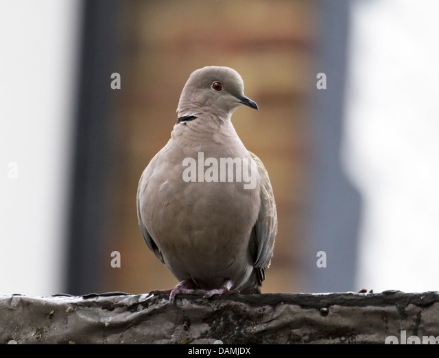 Eurasian Collared Dove: native to Asia and Europe - and recently introduced  into North America - Stock Image