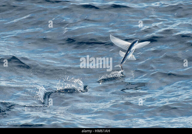 Flying fish species stock photos flying fish species for Flying fish name