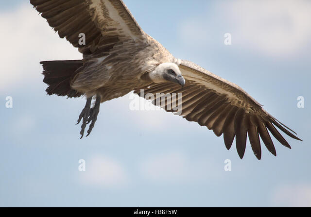 A Vulture in Zimbabwe - Stock Image