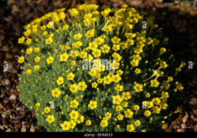 Dionysia michauxii, Primulaceae, Iran - Stock Image