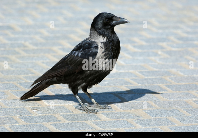 Hooded Crow (Corvus corone cornix, Corvus cornix) standing on paving stones. - Stock-Bilder