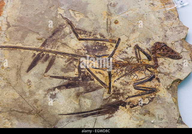 raptor fossil stock photos amp raptor fossil stock images